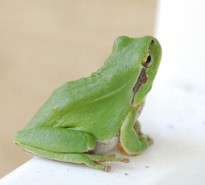 Der kleine grüne Frosch