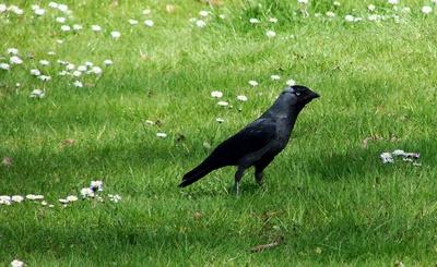 Die Dohle (Corvus monedula)