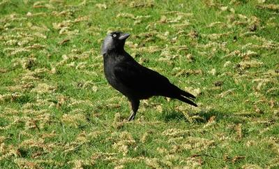 Die Dohle (Corvus monedula) #2
