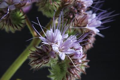 Rainfarnblättriges Büschelschön (Phacelia tanacetifolia)