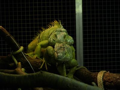 Grüne Leguane (Iguana Iguana) ¦ Paarungsbiss