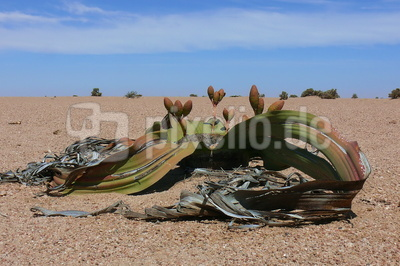 Welwitschia - lebendes Fossil