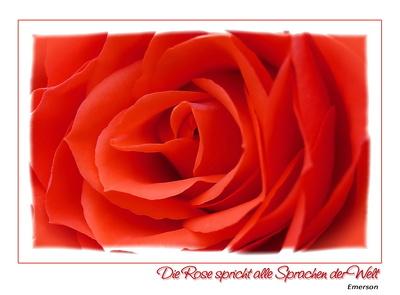 Die Rose spricht alle Sprachen der Welt...