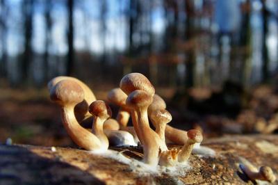 Januar-Pilze
