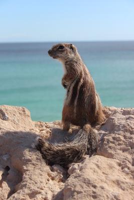 Baumstreifenhörnchen auf Furteventura 2