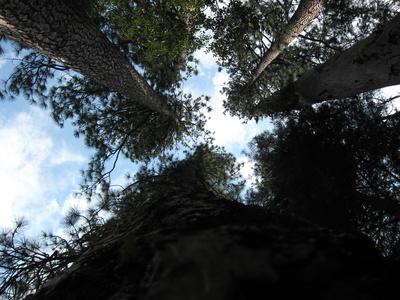 Baumperspektive, Yosemite National Parkper