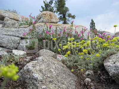 Pflanzen wachsen auf dem felsigen Untergrund, Yosemite National Park