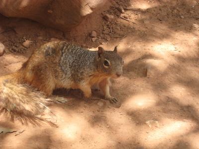 Squirrel im Grand Canyon