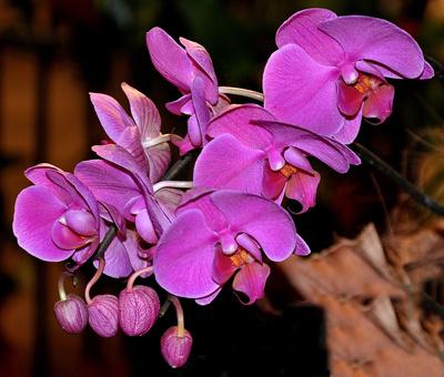Lila Orchideen (Nahaufnahme)
