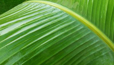 Formenspiel der Natur (Bananenblatt)