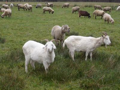 Ziegen u. Schafe im Sauerland