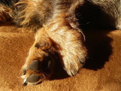 Dackelbeinchen - flinke Füße