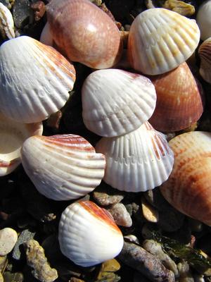 Muscheln am Strand_hoch
