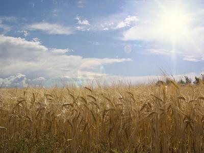 Sonne und Getreide