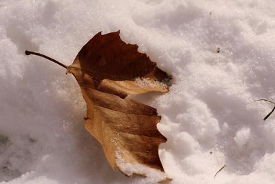 Ein Blatt im Schnee