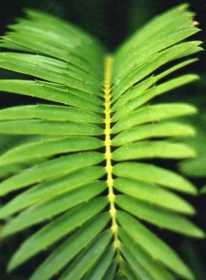 Palmblatt-Struktur