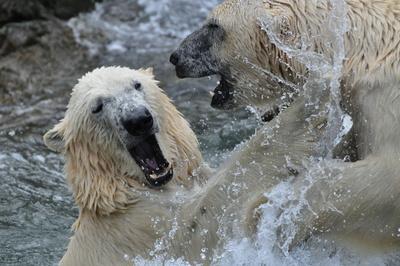 Eisbären beim Kämfpen