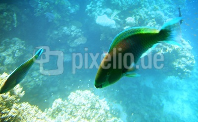 Papageienfisch im Roten Meer