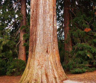 Mammutbäume in Badenweiler