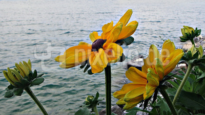 Blüten am Wasser