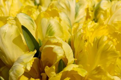 Tulpen ganz nah