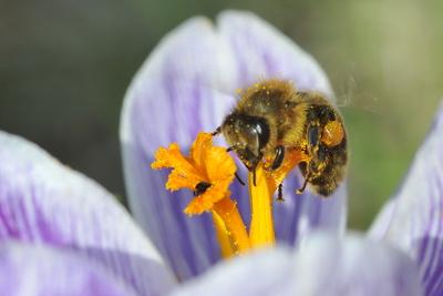 Biene auf Krokus-Blüte