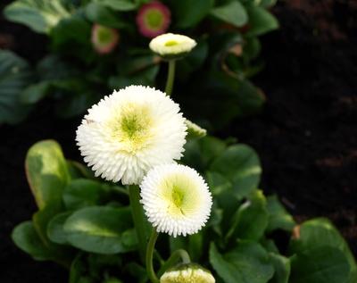 Leuchtend weiße Blütenköpfchen