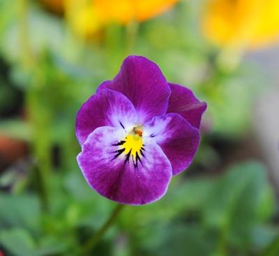 Traum in violett