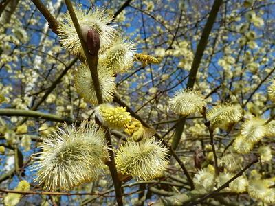 Biene mit Goldstaub