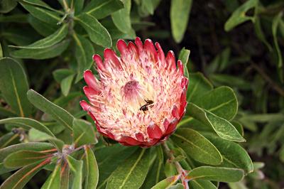 Proteaceae - Protea cynaroides
