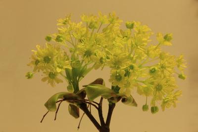 Spitzahorn / Blüte