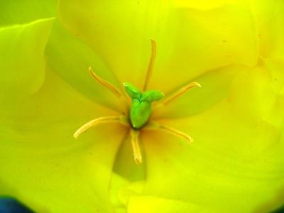 Stempel und Staubgefäße einer gelben Tulpe