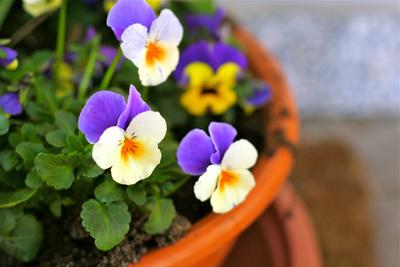 Stiefmütterchen (Frühling)