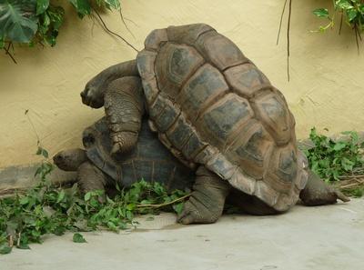 Schildkröten-Paar