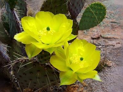 Kaktusblüten in ihrer Pracht