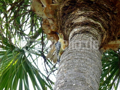 Specht an einer Palme