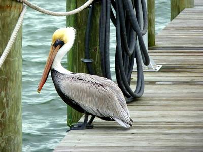 Pelikan auf einem Steg, Florida