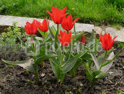 Rote Tulpen-Hybriden