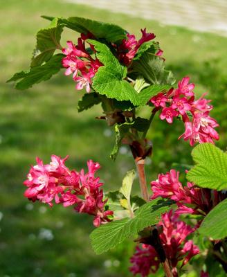 Blühender Johannisbeerstrauch