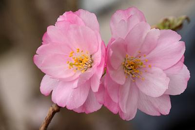 Zierpfirsichblüten