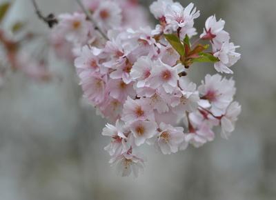 jap. Kirschblüten, zarte  Frühlingsboten