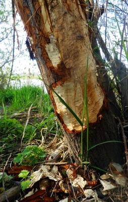Des Bibers Baum....