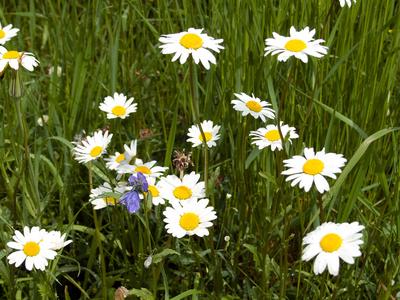 Gänseblümchen Frühlingswiese
