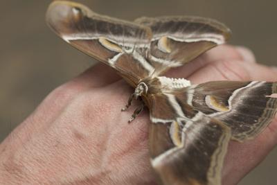 Schmetterling, Attacus atlas