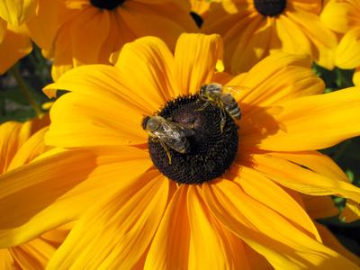 Blume mit 2 Bienen