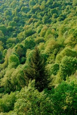 Der dunkelgrüne Recke im Frühlingswald