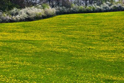 Frühlingswiese mit Heckenblüte