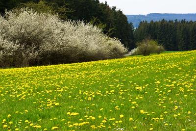 Frühlingswiese mit Heckenblüte-2