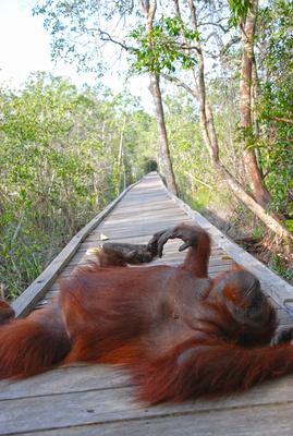 Orang Utan auf Borneo