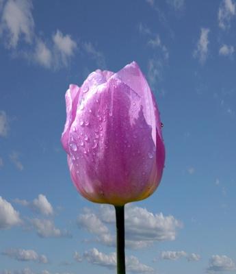 Tulpe und Frühlingsluft